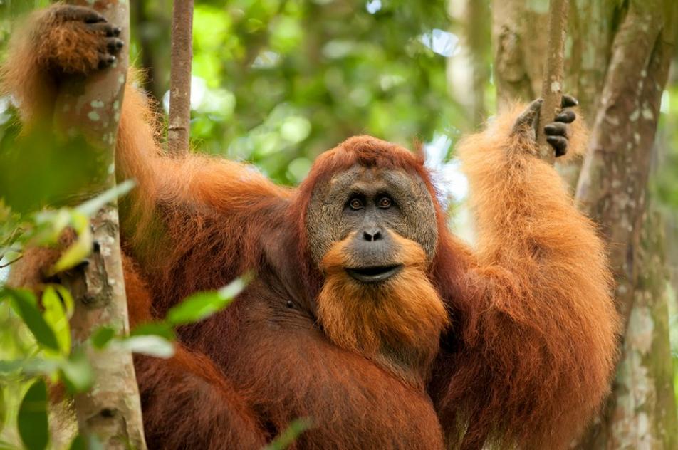 123 Орангутан
