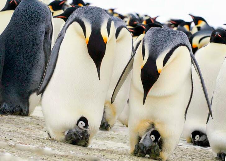 Детёныши императорского пингвина