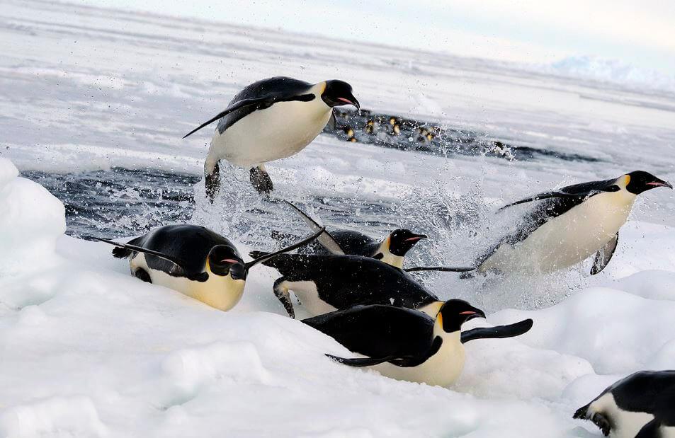 Прыгаюшие в проруби императорские пингвины