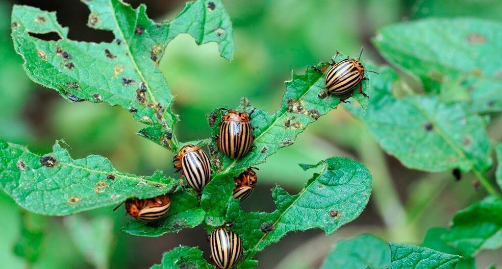 Фото колорадских жуков