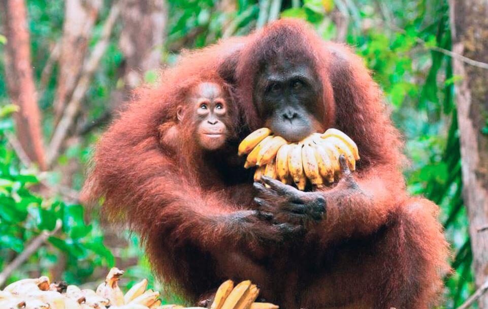 Поедающий бананы орангутан