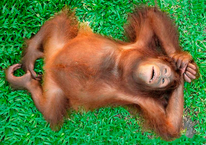 Сон орангутана
