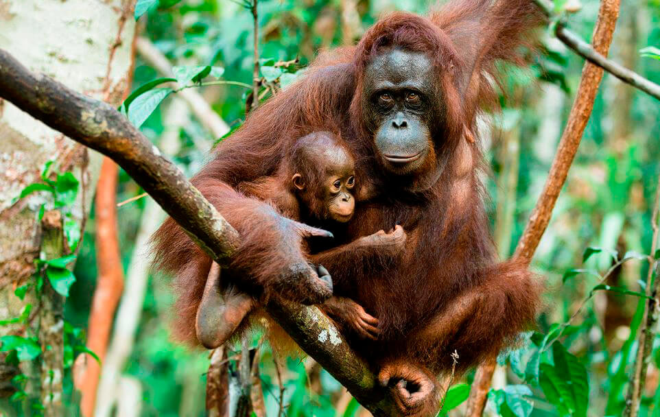 самка орангутана с детёнышем
