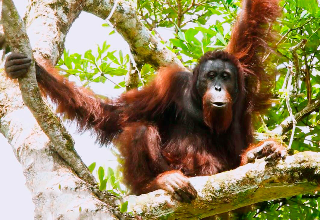 Укромное местечко орангутана