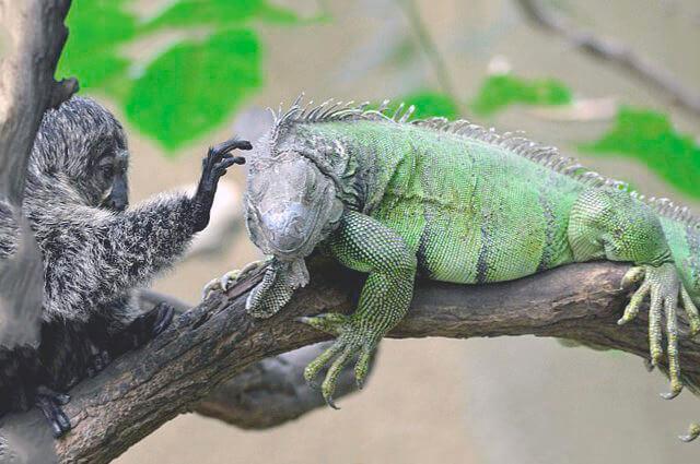 Картинка с Iguana iguana