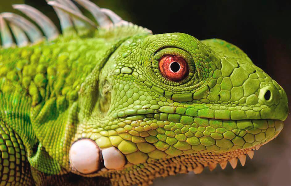 Зеленая игуана фото
