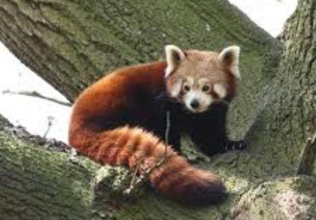 Малая панда.