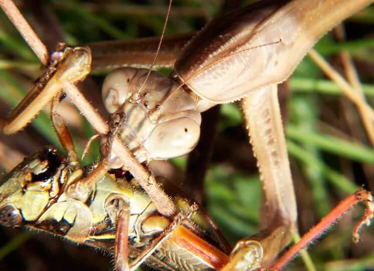 Mantis religiosa с добычей