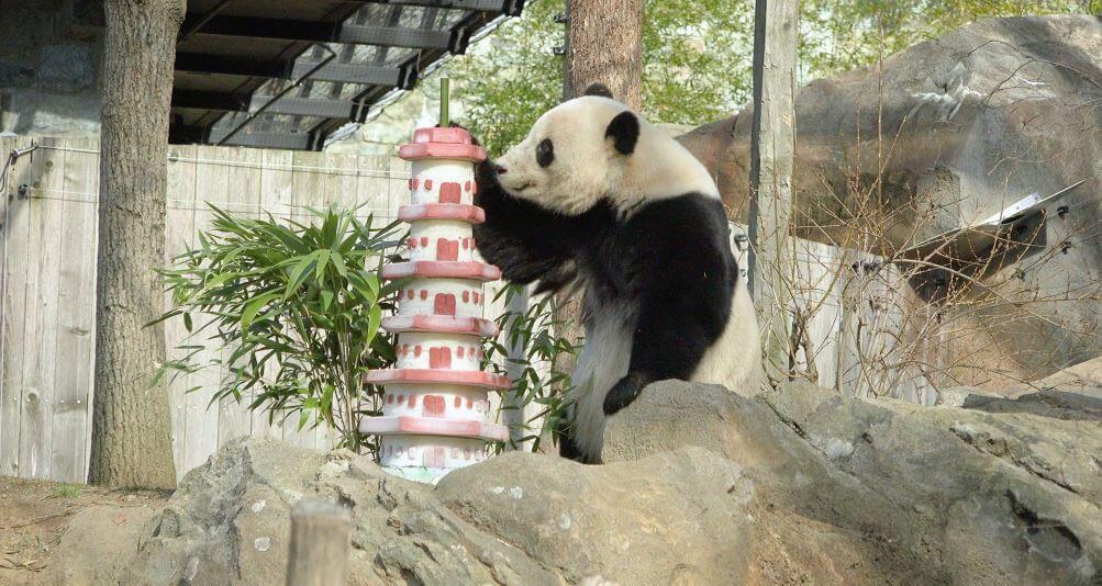 Проживание большой панды в зоопарке
