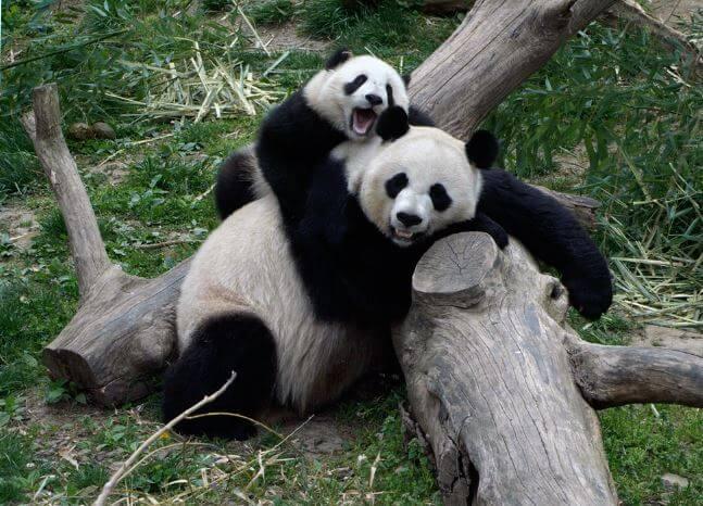 Компания больших панд