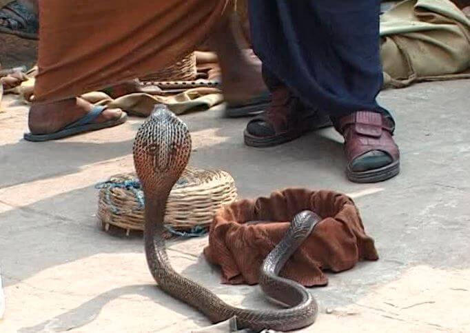 kobra indiyskaya sredi lyudey Кобра индийская