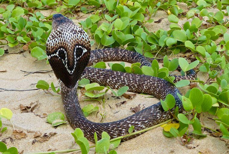 очковая змея с приподнятым телом
