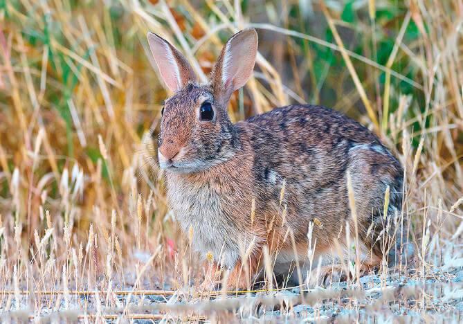 Изображение зайца европейского