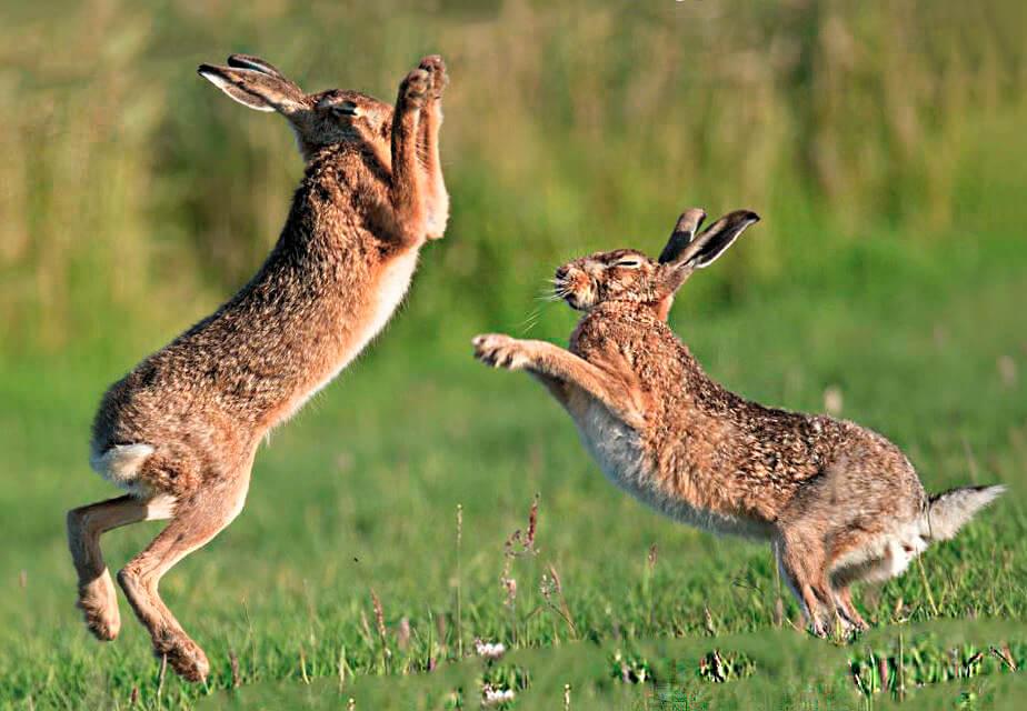 Встреча зайцев европейских