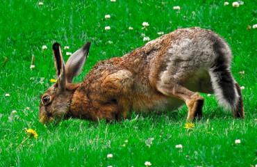 Заєць сірий, або русак