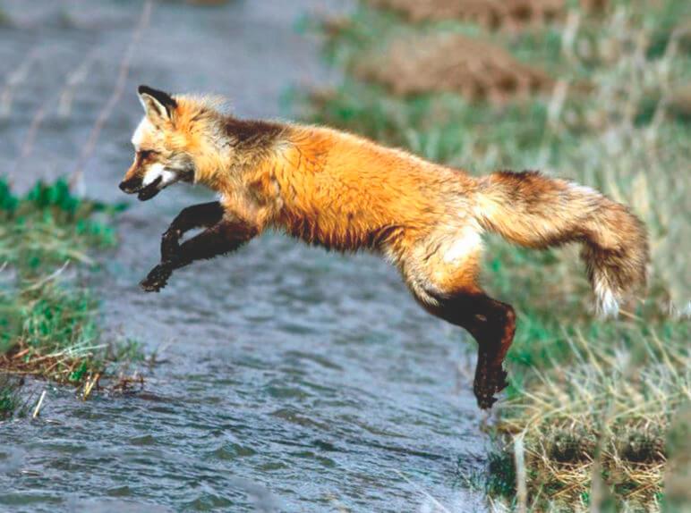 Лисица рыжая фото