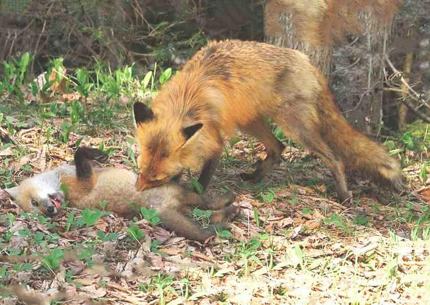 Самка рыжой лисы с лисёнком