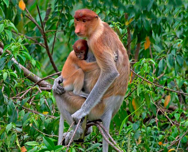 Самка носача с малышом