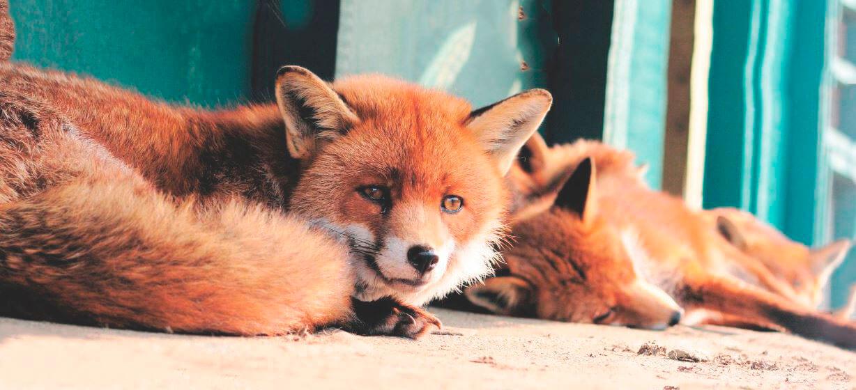 Пара рыжих лисиц