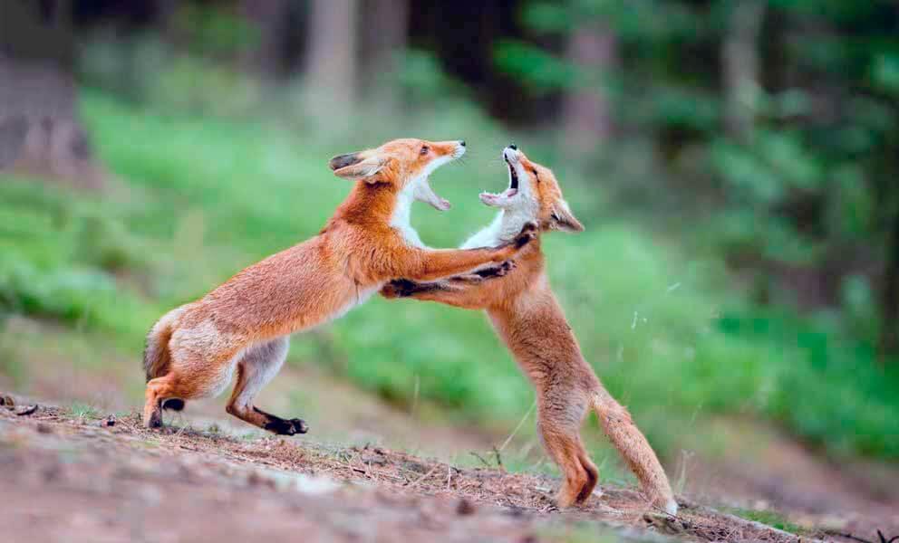 Встреча рыжих лисиц