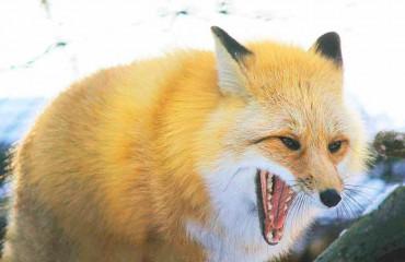 Лисица рыжая
