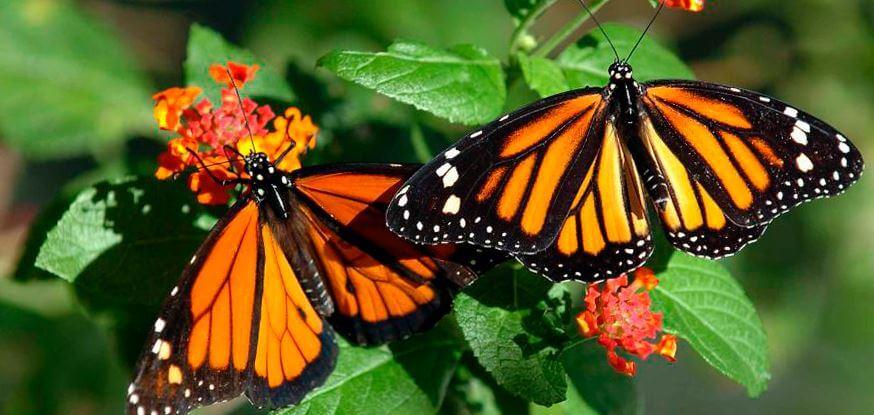Пара бабочек данаида монарх присели на траву