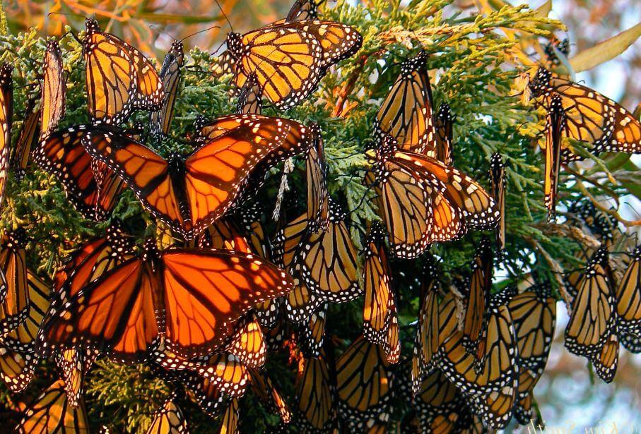 Скопление бабочек данаида монарх