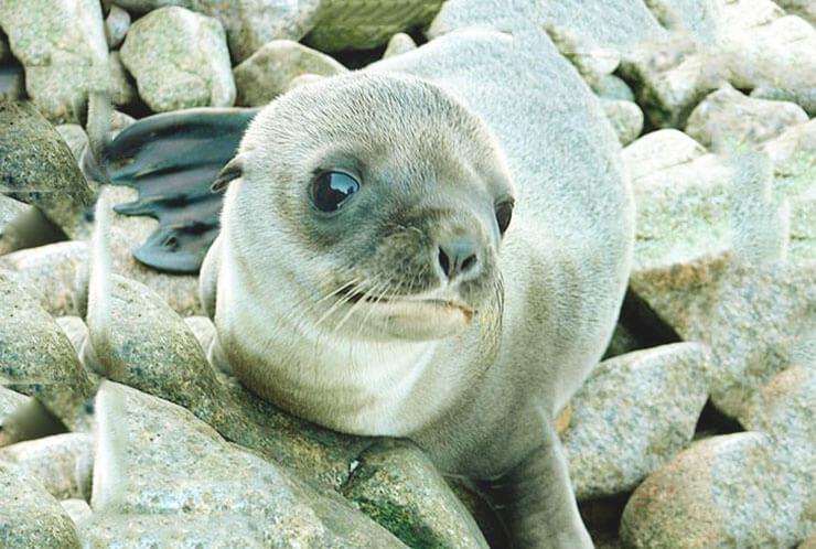 Детёныш калифорнийского морского льва
