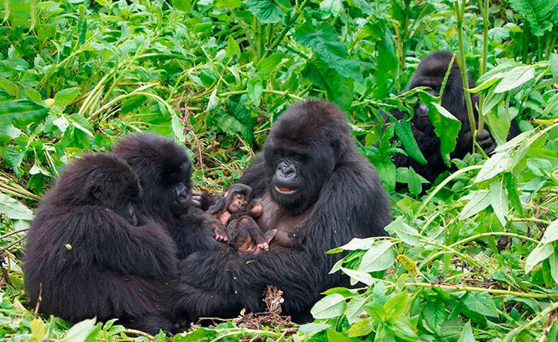 Малыш гориллы с родителями
