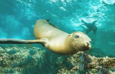 Калифорнийский морской лев