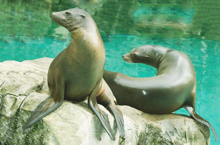 Пара Калифорнийских морских львов