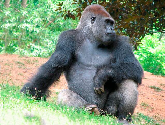 Картинка с гориллой