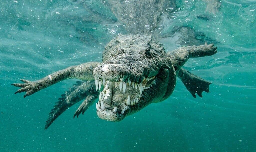 Crocodylos porosus