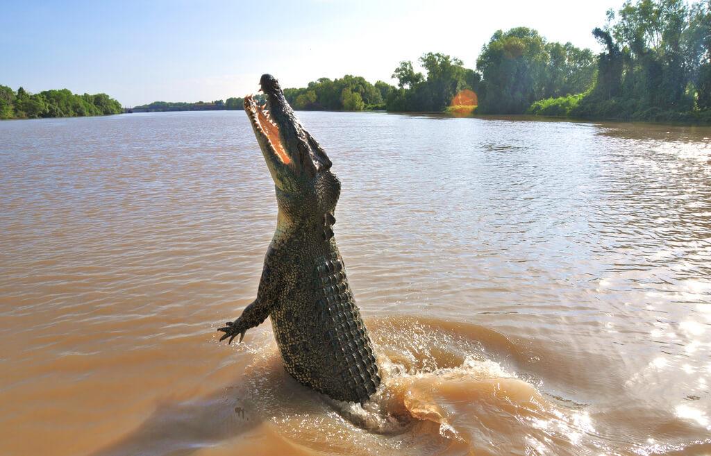Картинка с гребнистым крокодилом