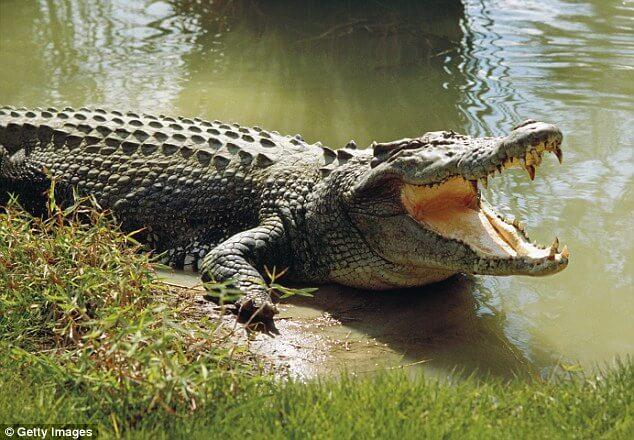 grebnistyy-krokodil.jpg