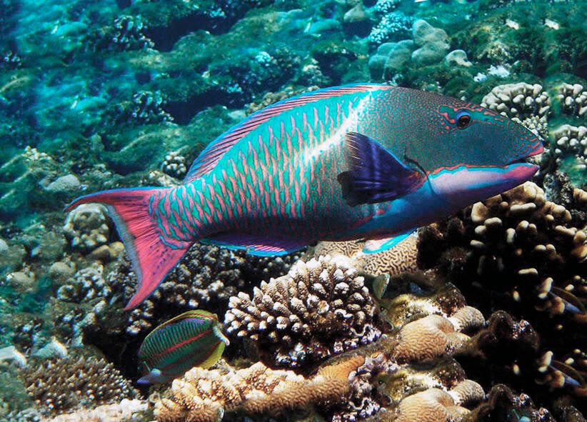 Посещение рыбой-попугай кораллового рифа