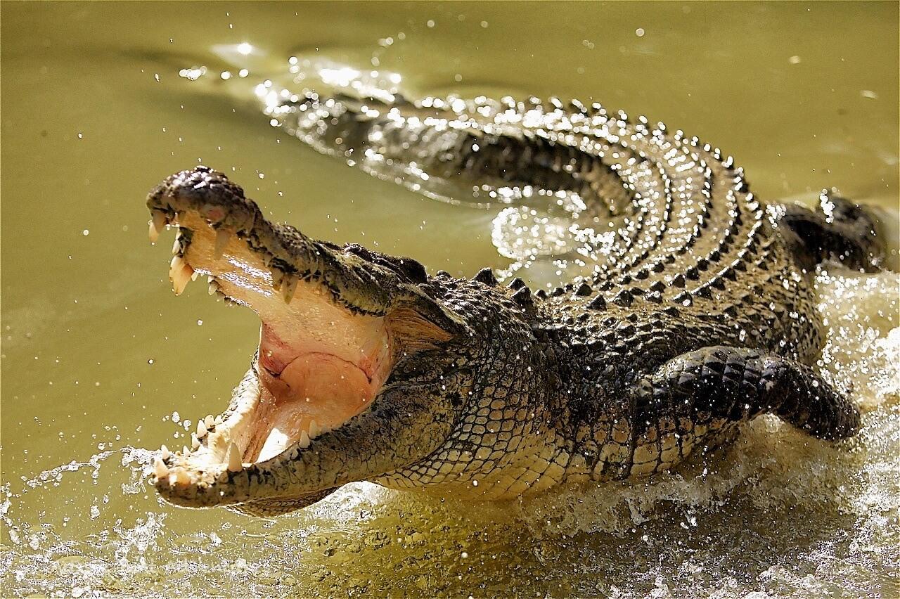 гребнистый крокодил фото