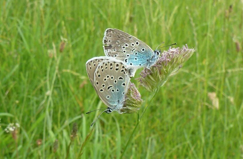 Голубянка арион фото