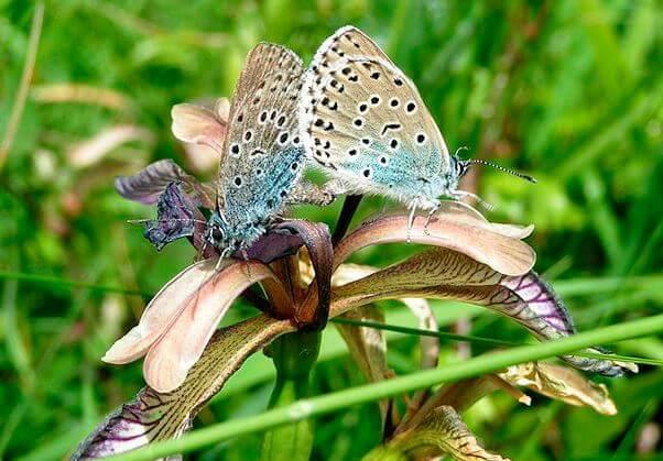 Голубянки арион собирают нектар