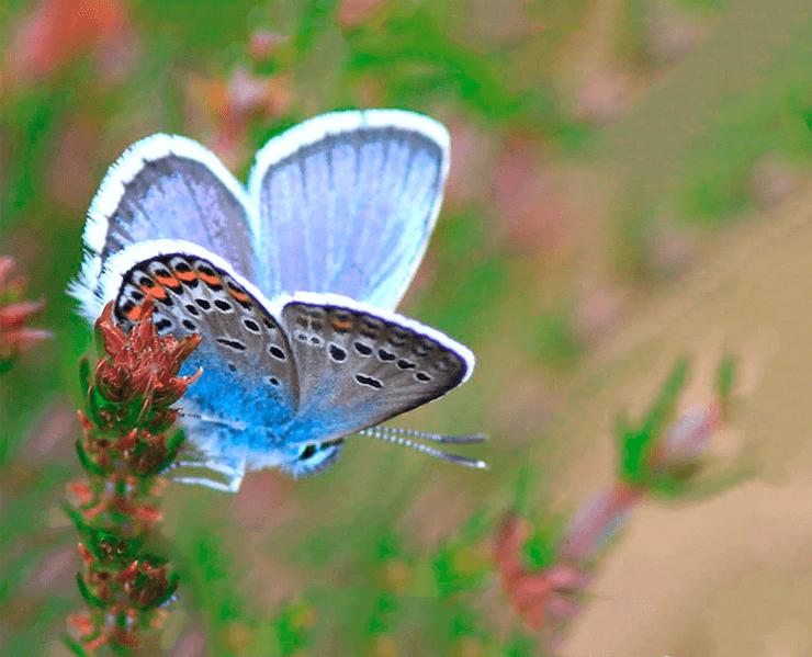 Maculinea arion фото