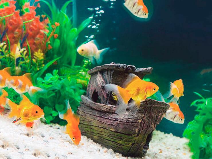 Стайка золотых рыбок