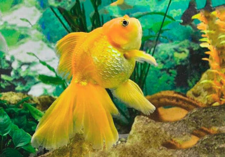 Золотые рыбки фото