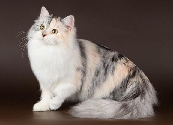 111 Сибирская кошка