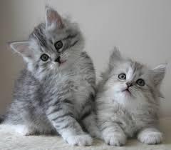 222 Сибирская кошка