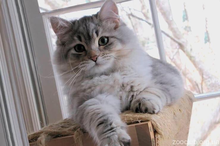 Фото кошки сибирской