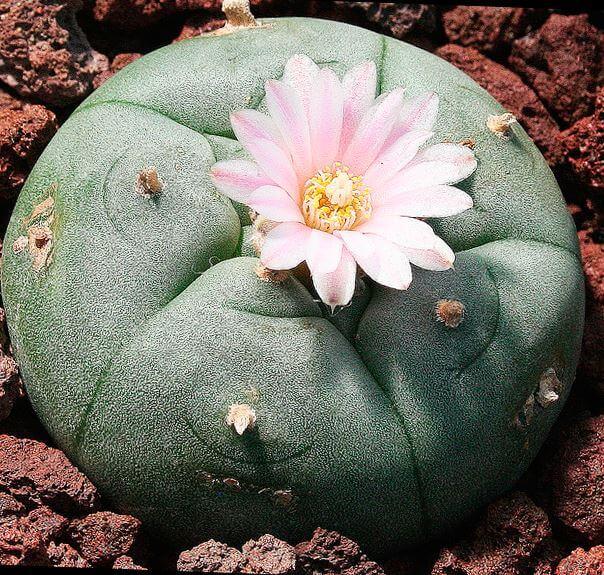 Фото цветущей лофофоры Вильямса