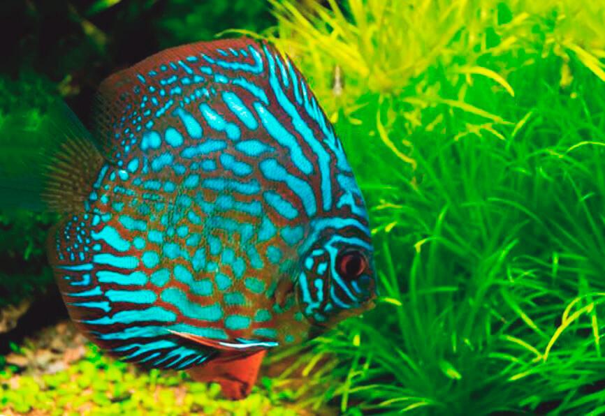 Дискус равнополосый в аквариуме