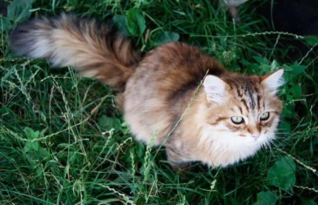Котёнок сибирской кошки