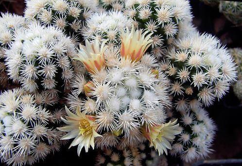 Фото цветущей маммилярии грациозной