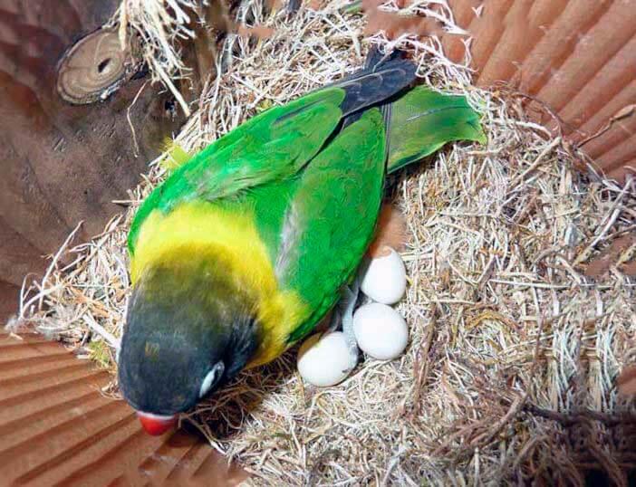 Самка маскового неразлучника в гнезде